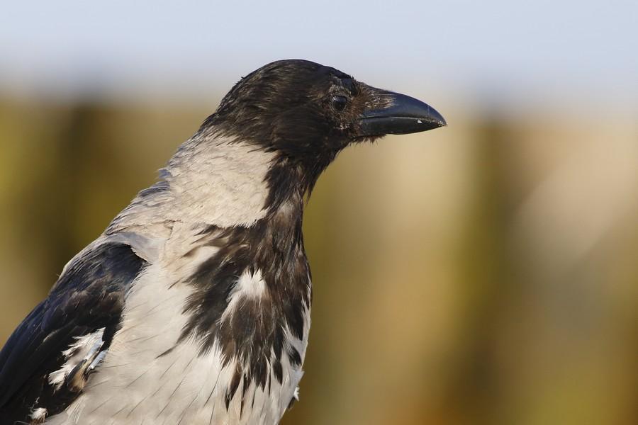Wrona siwa – Corvus corone