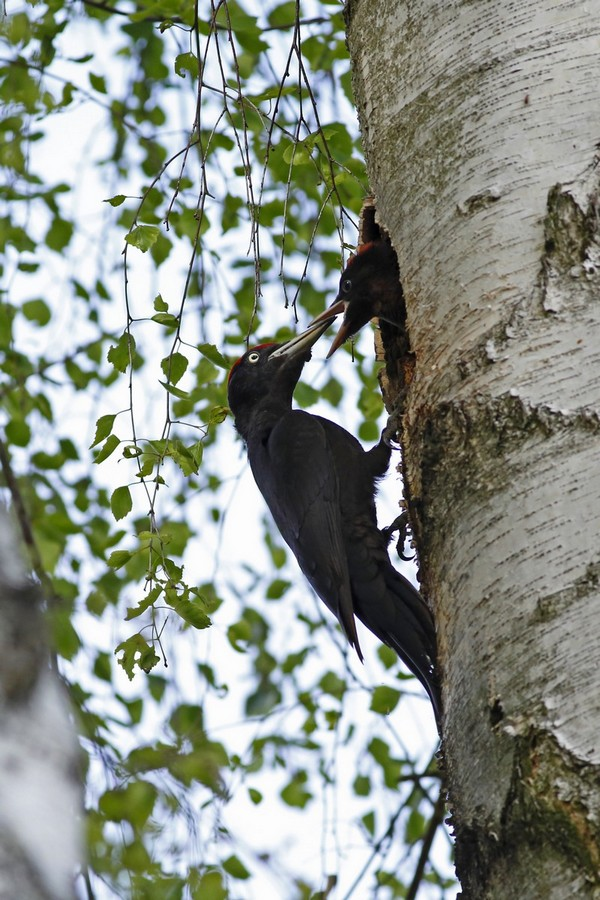 Dzięcioł czarny – Dryocopus martius